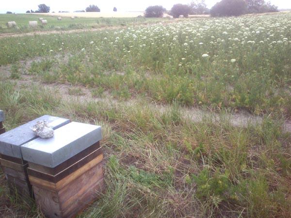 Miel et Délices, Location de ruches pour la pollinisation. Pollinisation des oignons.